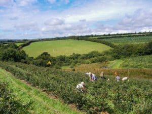 Exmoor Blueberries Sharcott